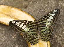 Butterfly feeding on fruit Stock Images