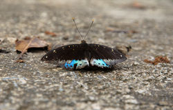 Butterfly. A butterfly feeding on the ground Stock Images