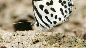 Butterfly feeding on ground. Butterfly feeding mineral on ground in tropical rain forest stock video footage