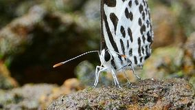 Butterfly feeding on ground. Butterfly feeding mineral on ground in tropical rain forest stock video