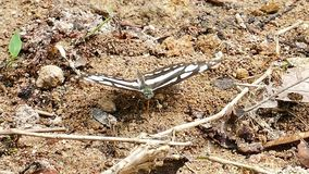 Butterfly feeding on the ground. Butterfly feeding on the ground in tropical rain forest stock footage