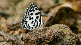 Butterfly feeding on the ground. Butterfly feeding on the ground in tropical rain forest stock video footage