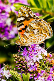 Butterfly feeding on a Hebe Bush Stock Photography