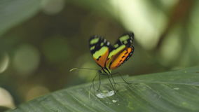 Butterfly Feeding On Leaf (Heliconiinae) stock video