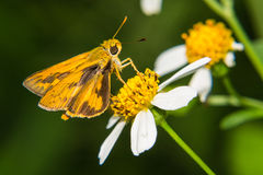 Butterfly feeding on little flower Royalty Free Stock Image
