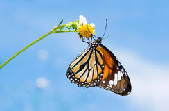 Butterfly feeding on little white flower Royalty Free Stock Photo