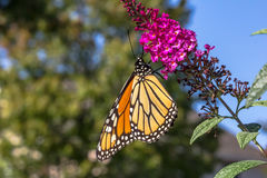 Butterfly Feeding. Monarch butterfly feeding on plant nectar, sugar-rich, pollinating royalty free stock photography