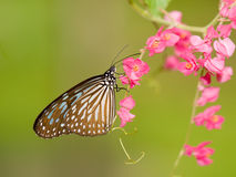 Butterfly Feeding On Pink Flowers Stock Photos