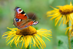 Butterfly feeding over flower. Macro closeup with red butterfly Stock Photos