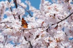 Butterfly feeding on a peach blossom in early spring Stock Image