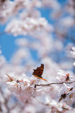 Butterfly feeding on a peach blossom in early spring Stock Photos