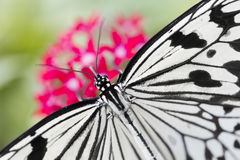 Butterfly feeding on pink flower. White butterfly feeding on pink flower Royalty Free Stock Image