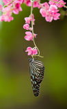 Butterfly Feeding on Pink Flowers. Blue Glassy Tiger Butterfly (Ideopsis vulgaris macrina) feeding on the pink flowers of a creeper stock image