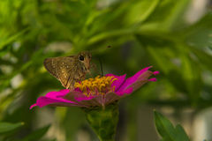 Butterfly feeding on Pink Straw flower Stock Image