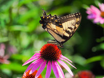 Butterfly feeding on a Purple Cone Flower Stock Image