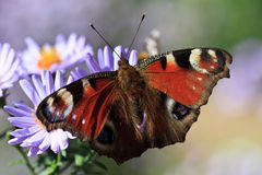 Butterfly feeding on purple flower Royalty Free Stock Images