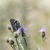 Butterfly feeding in flowers Stock Images