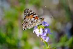 Butterfly on a Purple Flowers Royalty Free Stock Photos