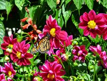 Butterfly feeding on red blossoms. Butterfly feeding on the red blossoms of flowers in a bed Stock Photo