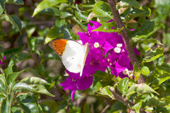 Butterfly feeding from red flowers. Royalty Free Stock Photos