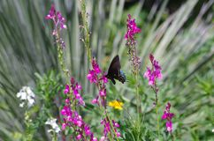 Butterfly feeding at San Antonio Botanical Garden. A butterfly feeding among purple flowers in a flowerbed at San Antonio Botanical Garden in Texas stock photos