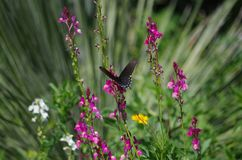 Butterfly feeding at San Antonio Botanical Garden. A butterfly feeding among purple flowers in a flowerbed at San Antonio Botanical Garden in Texas stock photography