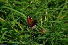 Butterfly feeding on a small clover on a massive meadow stock images