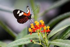 A Butterfly feeding. A butterfly stopping to feed on red and yellow flowers royalty free stock photos