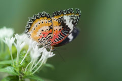 Butterfly feeding on white flower. Colorful butterfly feeding on flower Royalty Free Stock Image