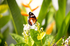 Butterfly feeding on a white flower Stock Photography