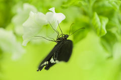 Butterfly feeding on white flower. Soft green background Royalty Free Stock Images