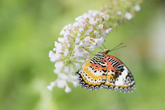 Butterfly feeding on white flowers. Colorful butterfly feeding on flower Royalty Free Stock Photos