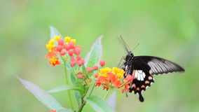Butterfly feeding on wildflowers. Stock Image