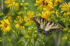 Butterfly Feeding on Yellow Flowers Royalty Free Stock Photography