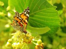 Butterfly feeds on linden pollen stock photography