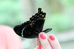 Butterfly in a female hand Stock Photo