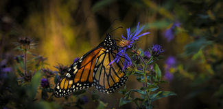 Butterfly. Female monarch feeding on a wild aster Stock Photos