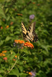 Butterfly in a field. Sitting on a flower Royalty Free Stock Photo