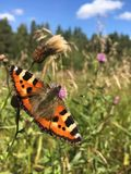 Butterfly in the field royalty free stock photos