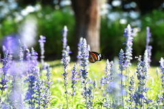 Butterfly in a field of flower blue salvia Stock Photos