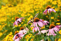 Butterfly in Field of Flowers. Butterfly in endless Field of Flowers Royalty Free Stock Image