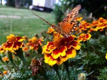 A butterfly in a field of flowers. A butterfly in a filed of orange flowers in a garden stock photo