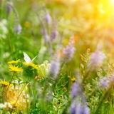Butterfly on field flowers and sun. Light at summer day stock photos