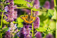 Butterfly on field summer flower, Stock Photography