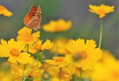 Butterfly in a field of wild flowers. The flower in the background makes the photo, like it is going to be it's next stop.Color  and tone are even not to much Royalty Free Stock Photos