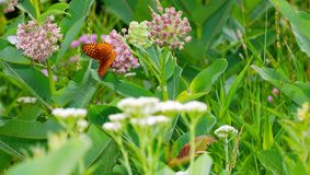 Butterfly in a field of wildflowers. Butterfly in thick green field of weeds, wild flowers and milkweed Royalty Free Stock Image