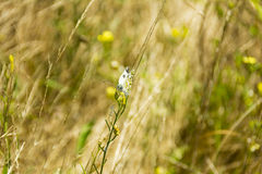 Butterfly on fields close up composition photograph Royalty Free Stock Images