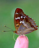 A butterfly on a finger. A brown butterfly sitting on a finger Royalty Free Stock Image