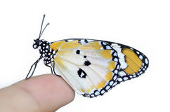 Butterfly on finger. Plain tiger butterfly on finger Royalty Free Stock Images