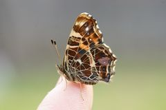 Butterfly on a finger Stock Image